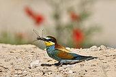 Guêpier d'Europe (Merops apiaster) capturant une libellule, site de nidification, carrière en exploitation, Oselle, Doubs, France