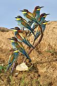 Guêpier d'Europe (Merops apiaster) groupe de huit oiseaux sur une branche, site de nidification, carrière en exploitation, Oselle, Doubs, France