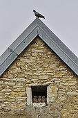 Faucon crécerelle (Falco tinnunculus), poussins à l'entrée du nid, pigeon dominant sur le pignon du toit, nichée installée dans la lucarne d'une ferme à Nommay, Doubs, France