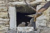 Faucon crécerelle (Falco tinnunculus), poussins à l'entrée du nid, adulte arrivant au nid avec une proie, nichée installée dans la lucarne d'une ferme à Nommay, Doubs, France