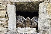 Faucon crécerelle (Falco tinnunculus), poussins à l'entrée du nid, nichée installée dans la lucarne d'une ferme à Nommay, Doubs, France
