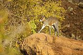 Klipspringer (Oreotragus oreotragus) on the top of a rock, West Tsavo, Kenya