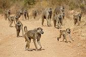 Yellow Baboon herd West Tsavo Kenya