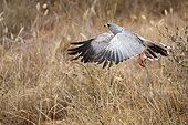 Eastern Chanting Goshawk (Melierax poliopterus) taking off and holding a snake, West Tsavo Kenya