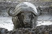 Cape buffalo (Syncerus caffer) covered with mud in the rain, Masai Mara, Kenya