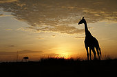 Masai Giraffe (Giraffa camelopardalis tippelskirchi) backlight on raising sun, Masai Mara, Kenya