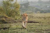Lion (Panthera leo) walking in savanna, Masai Mara, Kenya