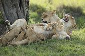 Lion (Panthera leo) lionesses and suckling cubs, Masai Mara, Kenya
