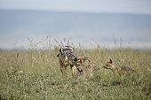 Black-backed jackals (Canis mesomelas) adult and 2 cubs, Masai Mara, Kenya