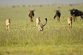 Cheetah (Acinonyx jubatus) walking in savanna, Masai Mara, Kenya