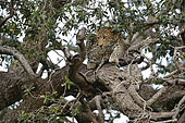 Leopard (Panthera pardus) in a tree, Masai Mara, Kenya