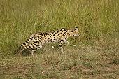Serval (Leptailurus serval) stalking in the savanna, Masai Mara, Kenya