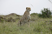 Cheetah (Acinonyx jubatus) in savanna, Masai Mara, Kenya