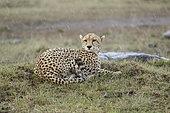 Cheetah (Acinonyx jubatus) in the rain Masai Mara Kenya