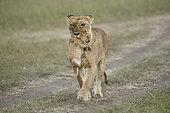 Lion (Panthera leo) lioness holding a cub in its mouth, Masai Mara, Kenya