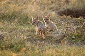 Black-backed jackal (Canis mesomelas) young in savanna, Masai Mara, Kenya