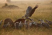 Spotted hyenaes (Crocuta crocuta) and vultures on a carcass of a buffalo in Masai Mara Kenya