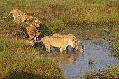 Lion (Panthera leo) lion's herd and a Thomson's gazelle in water, Masai Mara, Kenya