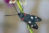 Burnet moth (Zygaena ephialtes), Drome, France