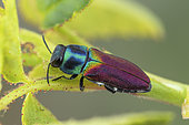 Jewel Beetle (Anthaxia ignipennis), Vence pass, Alps, France