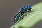 Cuckoo wasp (Chrysis indigotea), La Bollène-Vésubie, Alpes-Maritimes, France.