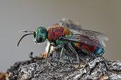 Ruby-tailed wasp (Chrysis viridula), Cayolle pass, Alps, France