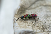 Cuckoo wasp (Chrysis cortii), Cayolle pass, Alps, France