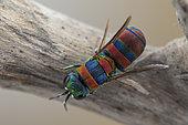 Cuckoo wasp (Chrysis semicincta), Aix en Provence, France