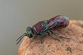 Cuckoo wasp (Chrysis andradei), Soria, Spain
