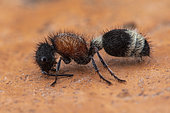 Velvet Ant (Stenomutilla argentata)Soria, Spain)