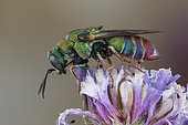 Cuckoo wasp (Parnopes grandior), Soria, Spain