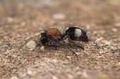 Velvet ant (Dasylabris iberica), Soria, Spain