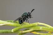 Perilampid Wasp (Perilampus nitens), Soria, Spain