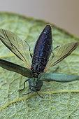 Beech splendour beetle (Agrilus viridis), Fontaine la Mallet, Normandy, France