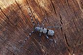 Alpine Longhorn beetle (Rosalia alpina) male on wood, Aubagne, France
