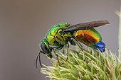 Large Cuckoo wasp (Stilbum cyanurum), Camargue, France