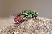 Cuckoo wasp (Parnopes grandior), Clermont-Ferrand, France