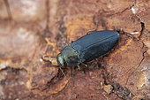 Steelblue jewel beetle (Phaenops cyanea), Drome, France