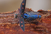 Metallic wood borer (Chrysobothris chrysostigma), Drome, France