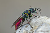 Ruby-tailed wasp (Chrysis ruddii) on rock, Cayolle Pass, Alps, France
