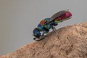 Cuckoo Wasp (Chrysis gribodoi), Soria, Espagne