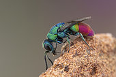 Cuckoo wasp (Chrysis peninsularis) male, Soria, Spain
