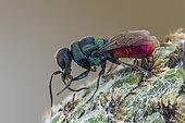 Cuckoo wasp (Chrysis mixta), Soria, Spain