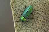 Jewel beetle (Anthaxia nitidula) male on leaf, Cayolle Pass, Alps, France