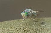 Fruit fly (Terellia cf. serratulae), Cayolle pass, Alps, France