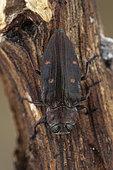 Metallic Wood Borer (Chrysobothris affinis) on wood, Montagne de Lure, France.
