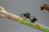 Eucharitid wasp (Stilbula cyniformis) male, Marseille, France