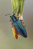 Metalic Wood-boring Beetle (Anthaxia hungarica) female, Saint-Jean-de-Buèges, Hérault, France