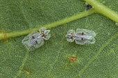 Sycamore Lace Bug (Corythucha ciliata), St Jean de Buèges, Hérault, France