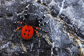 Ladybird spider (Eresus niger) male on rock, Cayolle pass, Alps, France